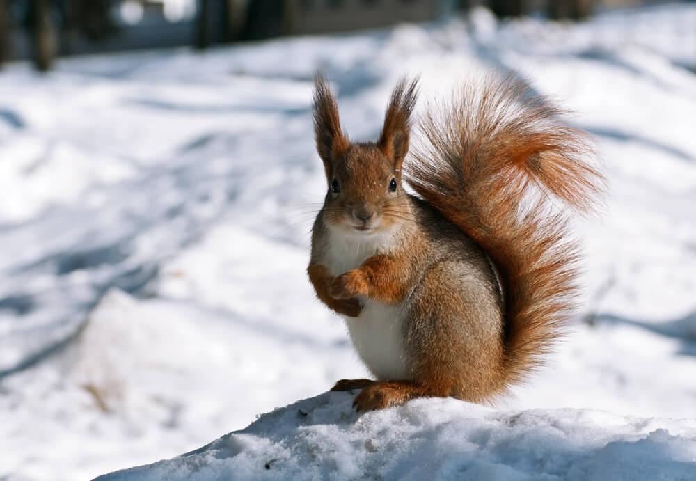 braised squirrel